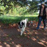 Berger australien et Bull terrier sur un chemin de terre