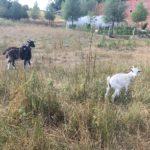 Troupeau de chèvres rencontré lors de la balade