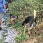 Deux chiens qui se promènent ensemble avec leur maître