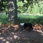 Boston terrier trottinant sur un chemin de terre