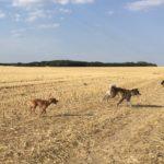 Akita galopant dans un champ avec deux chiens