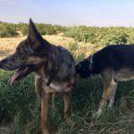 Deux chiens faisant connaissance en balade