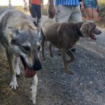 Chien-loup en compagnie d'un Braque de weimar