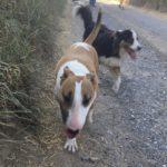 Bull-terrier devançant un Berger australien