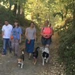Beagle et Border-collie qui marchent devant leur maitresse