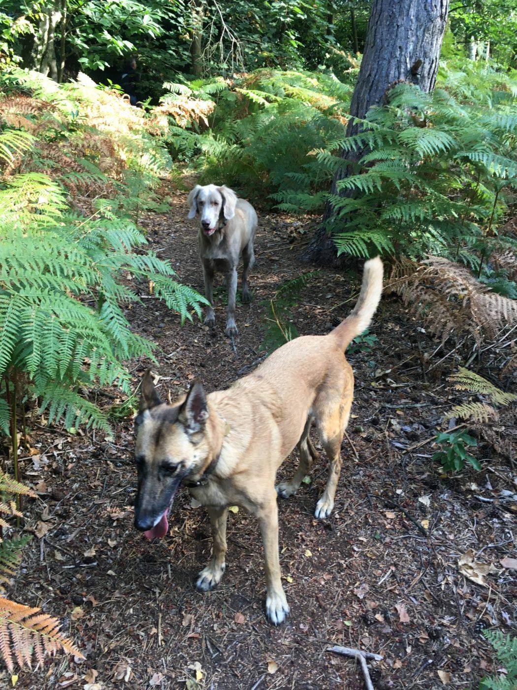 Braque et Malinois entourés de fougères