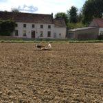 Jeux entre Beagle et Chien Loup dans un champ