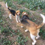 Deux Beagles faisant connaissance
