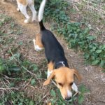 Beau petit Beagle
