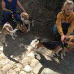 Quatre Beagles réunis en balade
