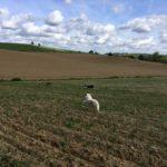 Berger blanc allant à la rencontre d'autres chiens