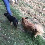Deux petits chiens parcourant les campagnes