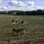 Border collie qui s'amuse avec un Berger allemand et d'autres chiens