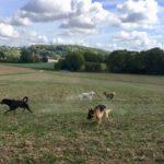 Berger allemand et Rottweiler qui dépensent leur énergie