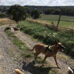 Beagle et Malinois qui se promènent en campagne