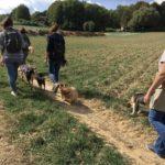 Croisé Corgi accompagné d'un Beagle, d'un BA et d'un Malinois