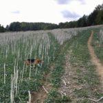 Un Beagle qui se fraie un chemin