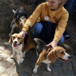 Trois Beagles avec leur maîtresse