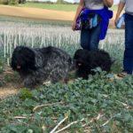 Deux Schapendoes en balade canine