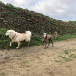 Un Golden et un Braque foulant un chemin de terre