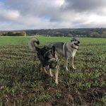 Un Berger allemand et un Chien-loup tchèque dans un champ