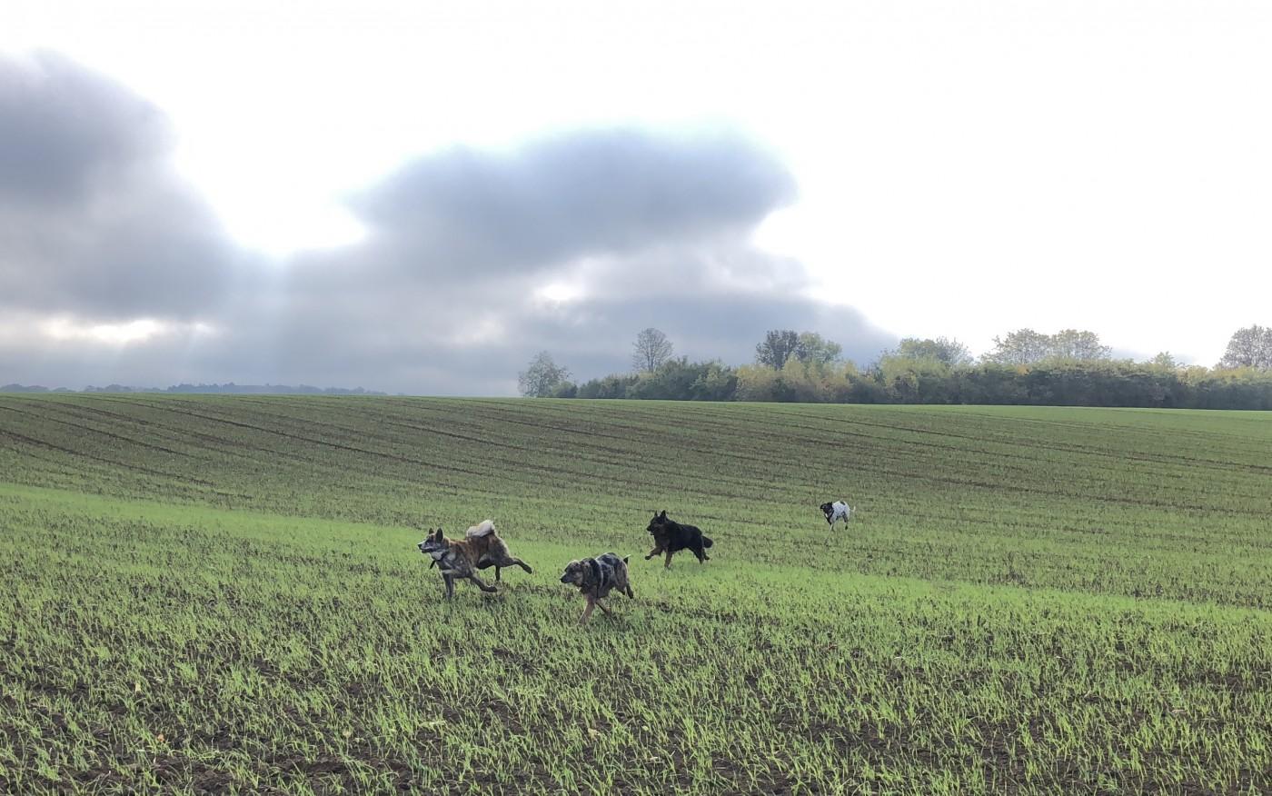 Chiens en grande galopade dans les champs