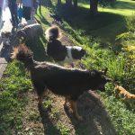 Berger allemand et Berger australien attentifs aux autres chiens