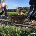 Deux petits chiens qui marchent à coté de leur maître