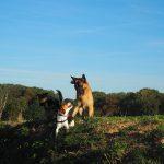 Jeu entre un Berger allemand et un Beagle