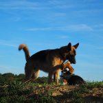 Beagle qui lèche un Berger allemand