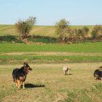 Un Berger allemand accompagné de deux chiens