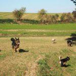Berger allemand avec trois chiens