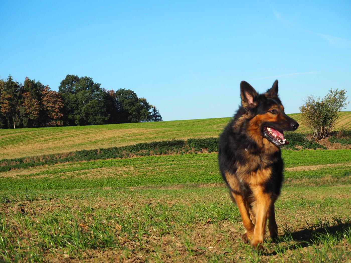 Joli berger allemand à poils longs