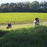 Deux chiens au milieu de la campagne