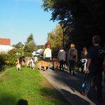 Malinois qui marche dans un groupe de chiens