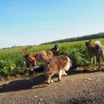 Akita accompagné d'un Berger australien, un Malinois et un Beagle