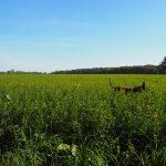 Berger belge malinois caché dans les herbes