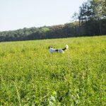 Epagneul de perdrix au milieu des hautes herbes