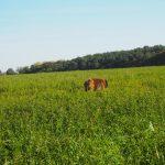 Berger portugais dans les hautes herbes