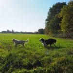 Deux chiens qui s'amusent ensemble dans un champ