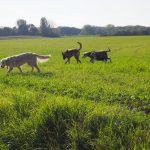 Golden retriever dans un champ avec trois chiens