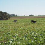 Berger australien et un Chien-loup ensemble