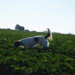 Epagneul à la recherche d'odeurs dans les cultures