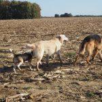 Un Beagle et un Golden qui suivent un Berger allemand