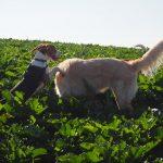 Un petit Beagle qui joue avec un Golden retriever
