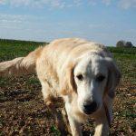 Golden retriever qui se balade dans un champ