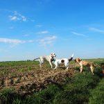 Epagneul qui joue avec un Labrador