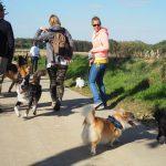 Welsh corgi faisant connaissance avec d'autres chiens