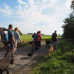 Labrador chocolat et Berger allemand avec d'autres chiens