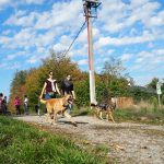 Malinois en balade avec d'autres chiens de berger